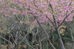 キートスの庭の桜