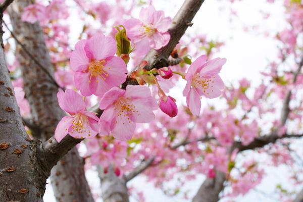 キートスの庭の桜の木