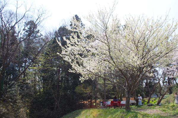 Kiitosの桜の木