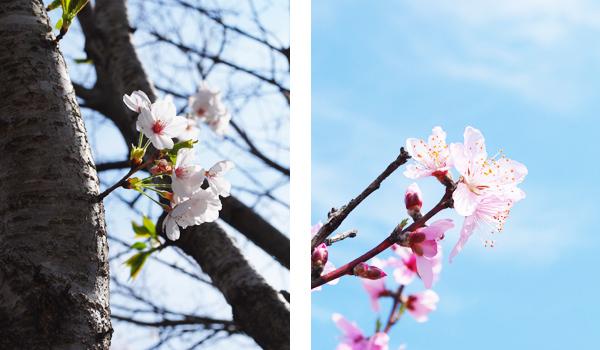 桜の木々たち