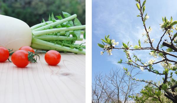 大根とトマトと桜